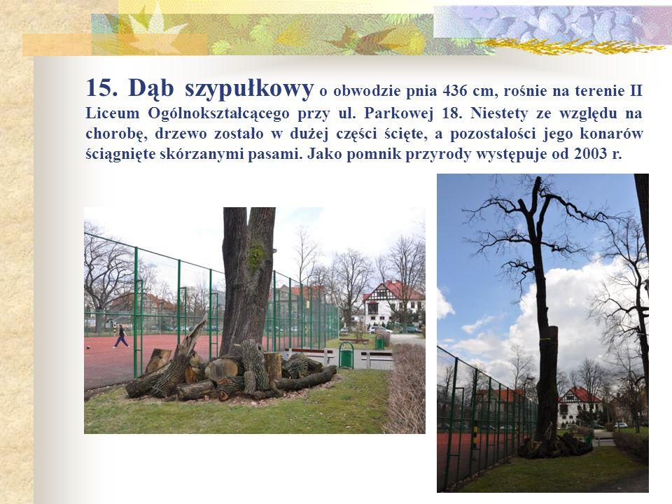 15. Dąb szypułkowy o obwodzie pnia 436 cm, rośnie na terenie II Liceum Ogólnokształcącego przy ul.