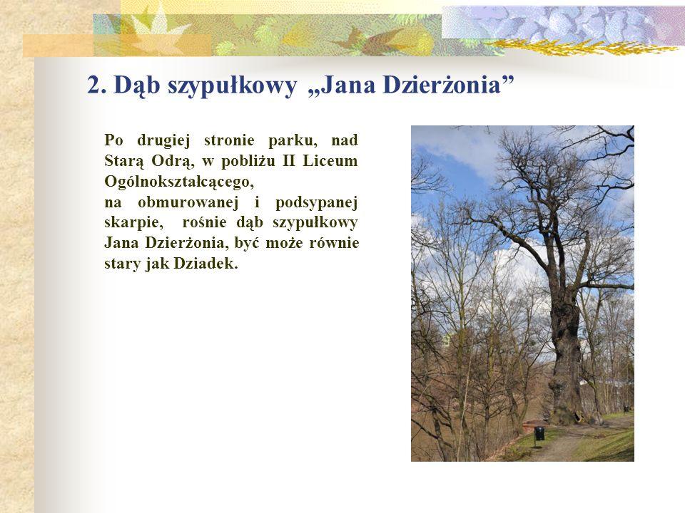 """2. Dąb szypułkowy """"Jana Dzierżonia"""