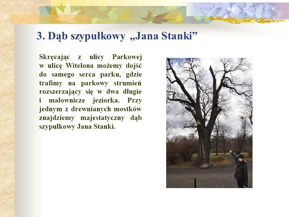"""3. Dąb szypułkowy """"Jana Stanki"""