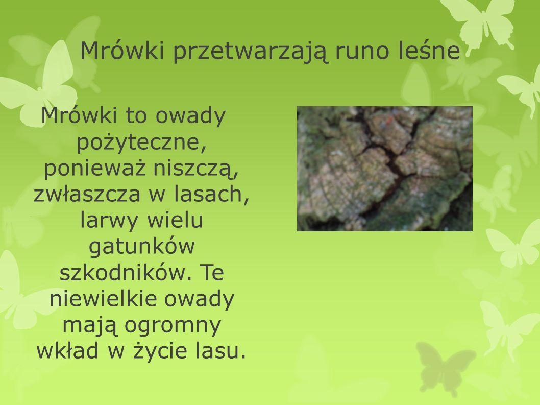 Mrówki przetwarzają runo leśne