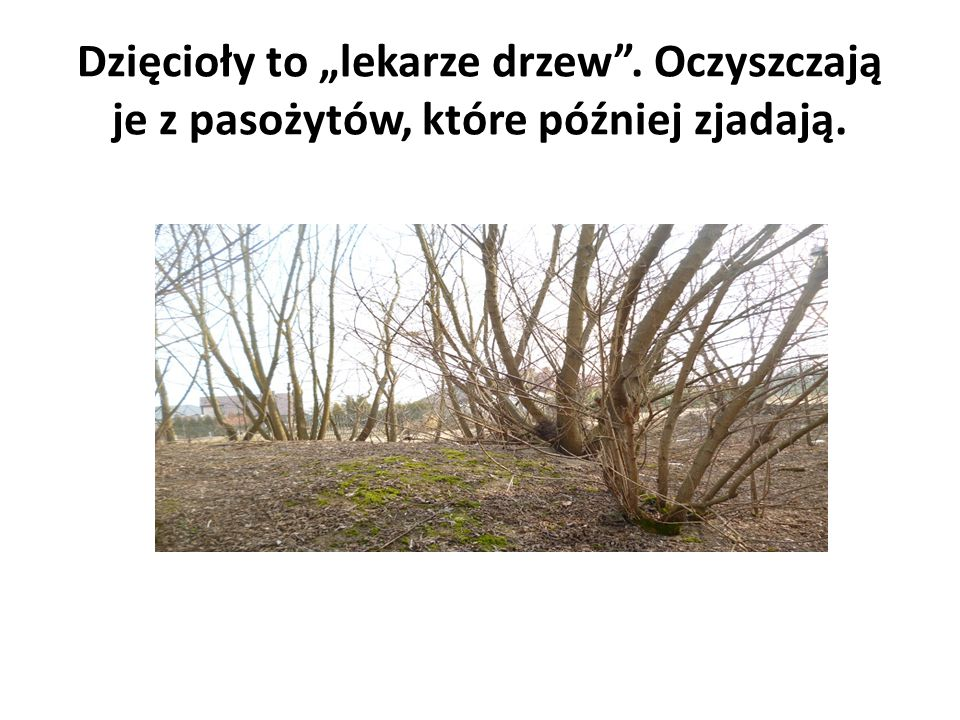 """Dzięcioły to """"lekarze drzew"""