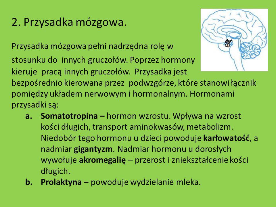 2. Przysadka mózgowa. Przysadka mózgowa pełni nadrzędna rolę w