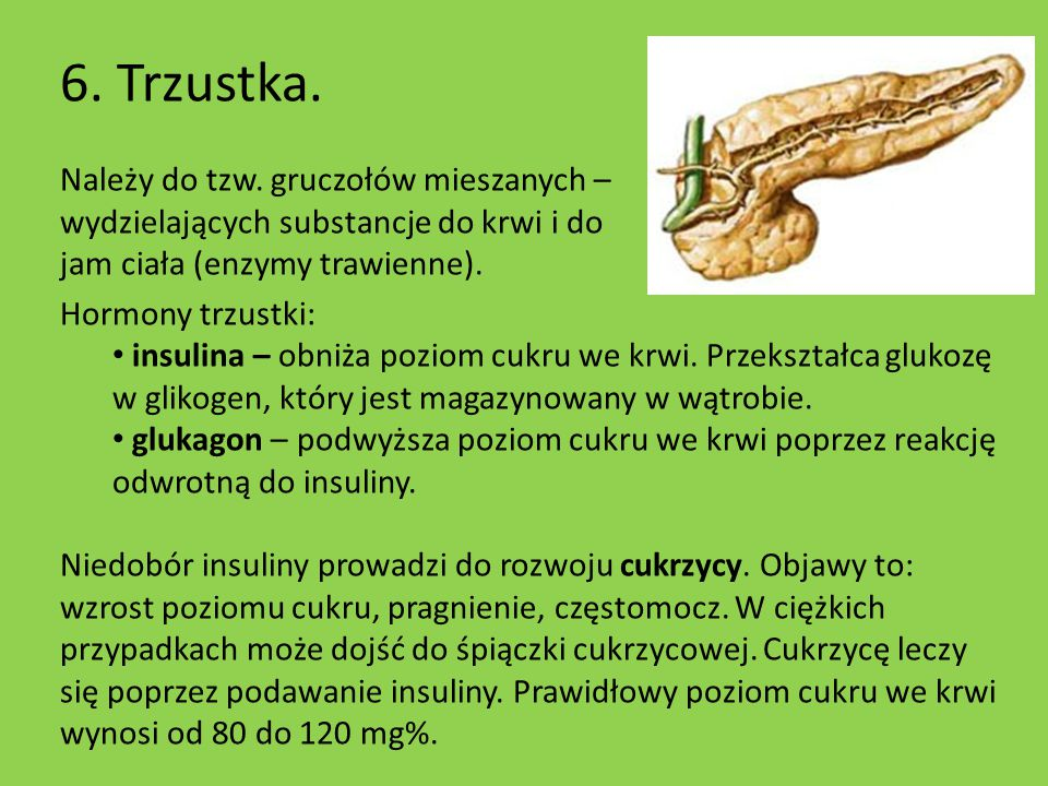 6. Trzustka. Należy do tzw. gruczołów mieszanych – wydzielających substancje do krwi i do jam ciała (enzymy trawienne).