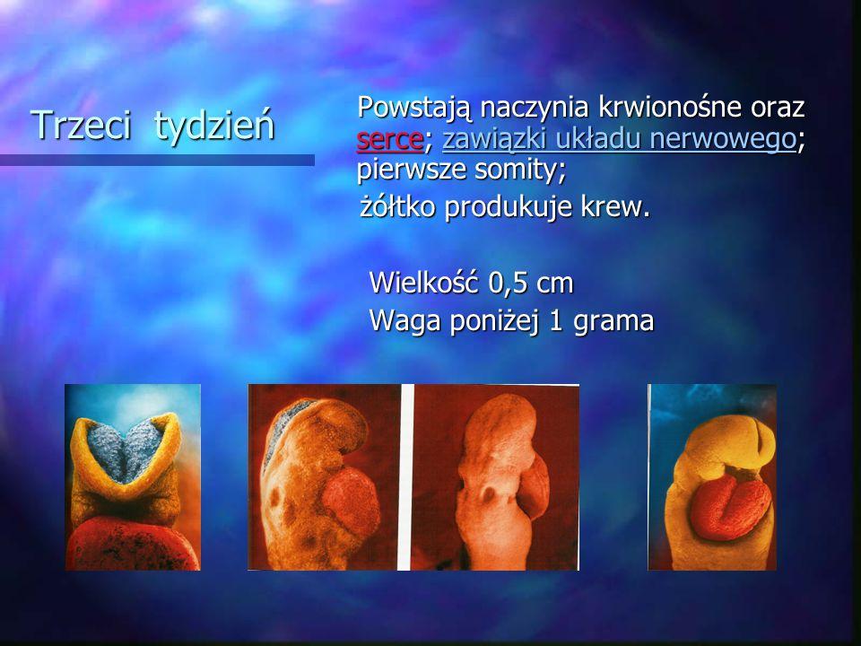Trzeci tydzień żółtko produkuje krew. Wielkość 0,5 cm