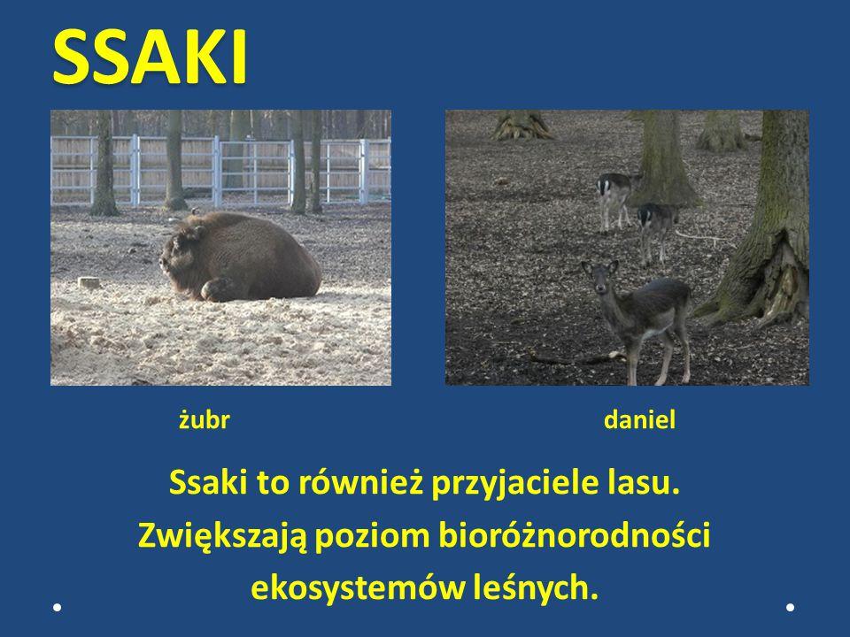 SSAKI żubr daniel Ssaki to również przyjaciele lasu.