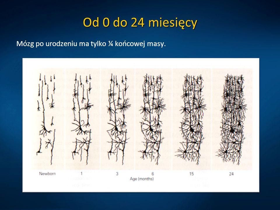 Od 0 do 24 miesięcy Mózg po urodzeniu ma tylko ¼ końcowej masy.