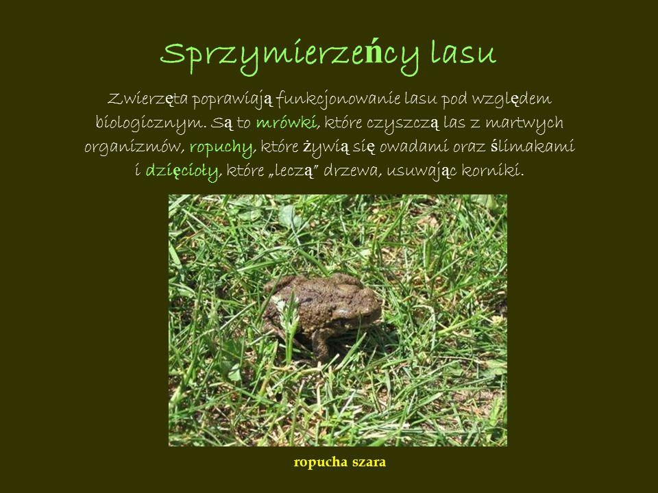 Sprzymierzeńcy lasu Zwierzęta poprawiają funkcjonowanie lasu pod względem. biologicznym. Są to mrówki, które czyszczą las z martwych.