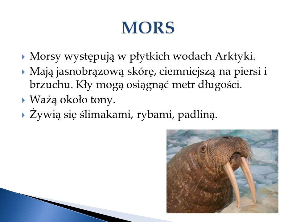 MORS Morsy występują w płytkich wodach Arktyki.