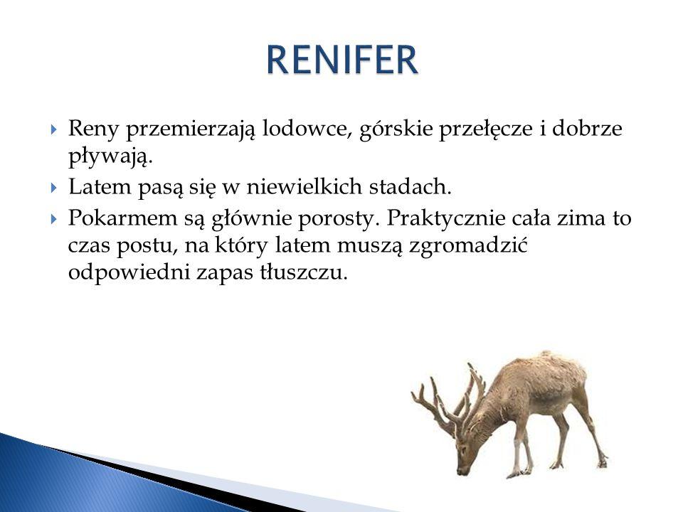 RENIFER Reny przemierzają lodowce, górskie przełęcze i dobrze pływają.