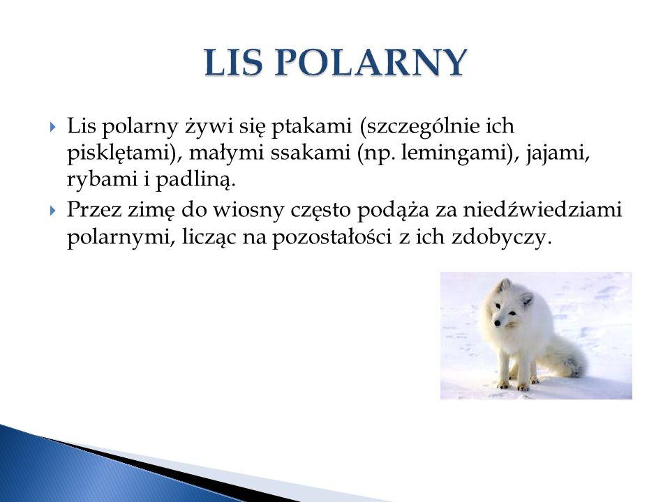 LIS POLARNY Lis polarny żywi się ptakami (szczególnie ich pisklętami), małymi ssakami (np. lemingami), jajami, rybami i padliną.