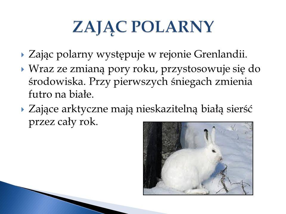 ZAJĄC POLARNY Zając polarny występuje w rejonie Grenlandii.