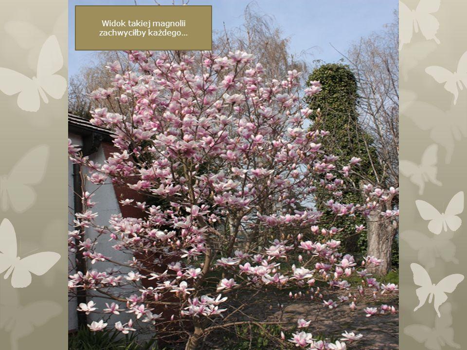 Widok takiej magnolii zachwyciłby każdego…