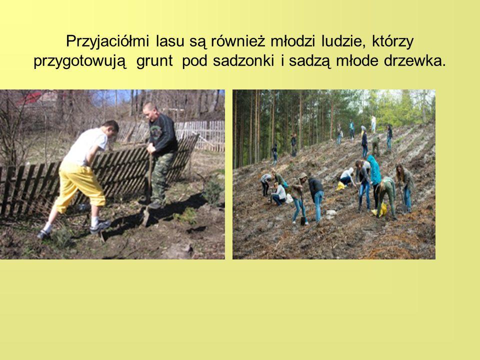 Przyjaciółmi lasu są również młodzi ludzie, którzy przygotowują grunt pod sadzonki i sadzą młode drzewka.