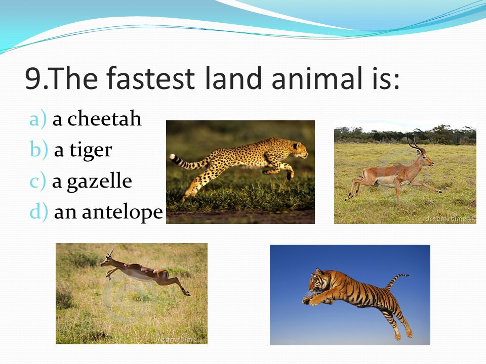 9.The fastest land animal is:
