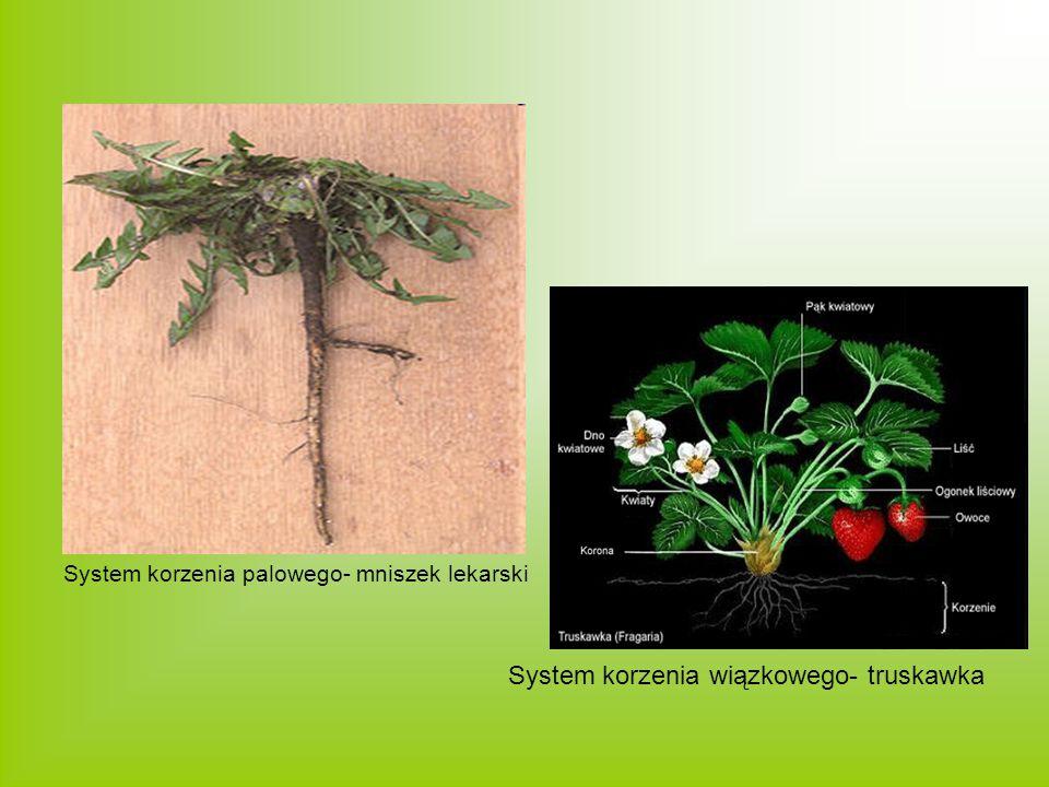 System korzenia wiązkowego- truskawka