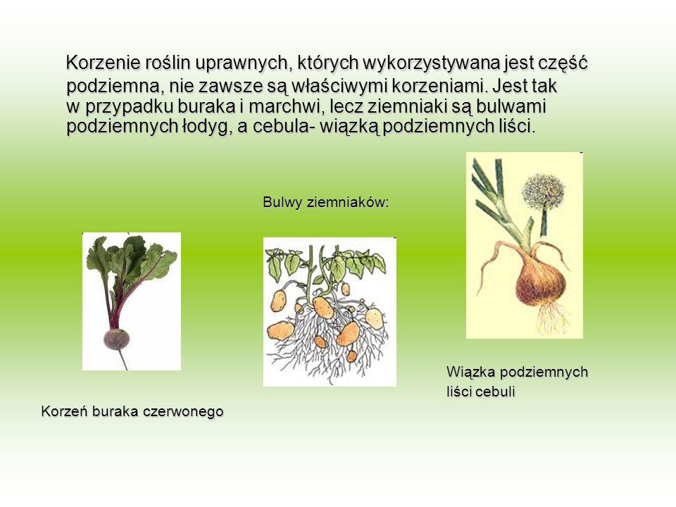 Korzenie roślin uprawnych, których wykorzystywana jest część podziemna, nie zawsze są właściwymi korzeniami. Jest tak w przypadku buraka i marchwi, lecz ziemniaki są bulwami podziemnych łodyg, a cebula- wiązką podziemnych liści.