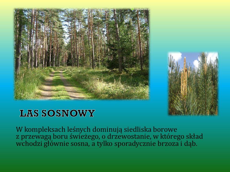 LAS SOSNOWY W kompleksach leśnych dominują siedliska borowe