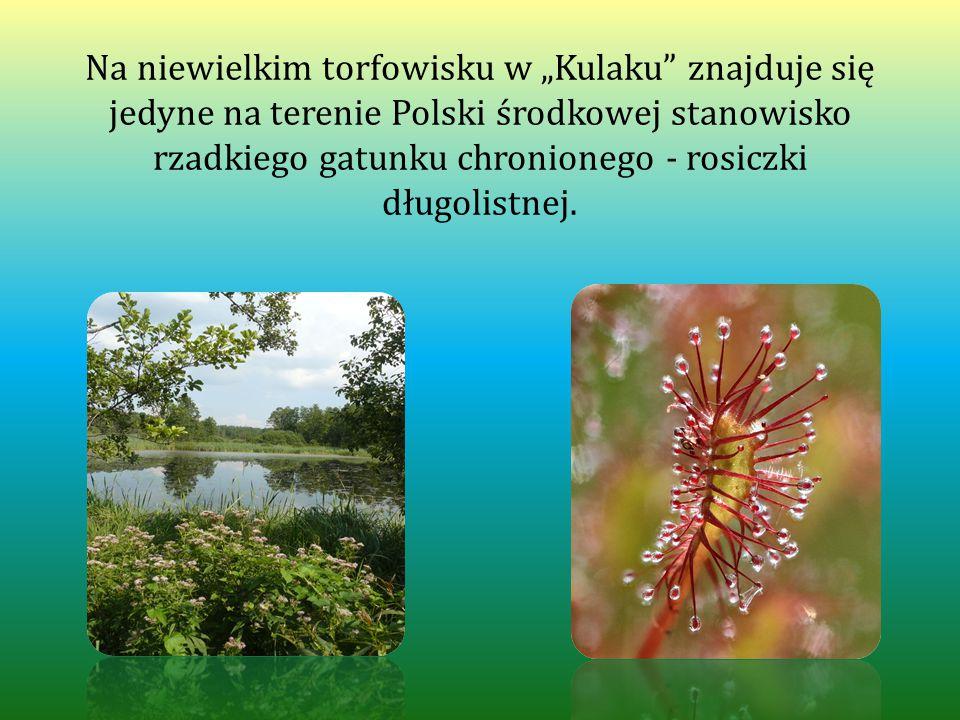 """Na niewielkim torfowisku w """"Kulaku znajduje się jedyne na terenie Polski środkowej stanowisko rzadkiego gatunku chronionego - rosiczki długolistnej."""