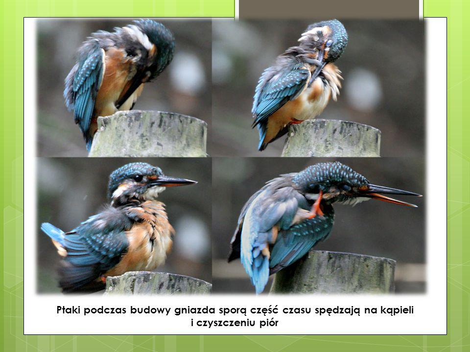 Ptaki podczas budowy gniazda sporą część czasu spędzają na kąpieli