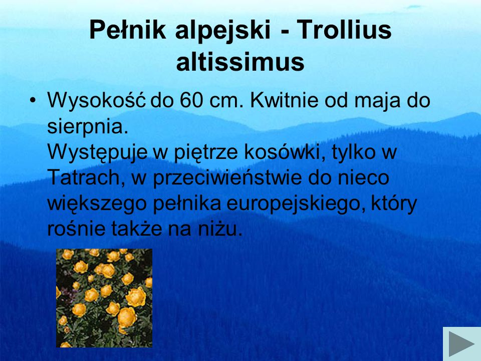 Pełnik alpejski - Trollius altissimus