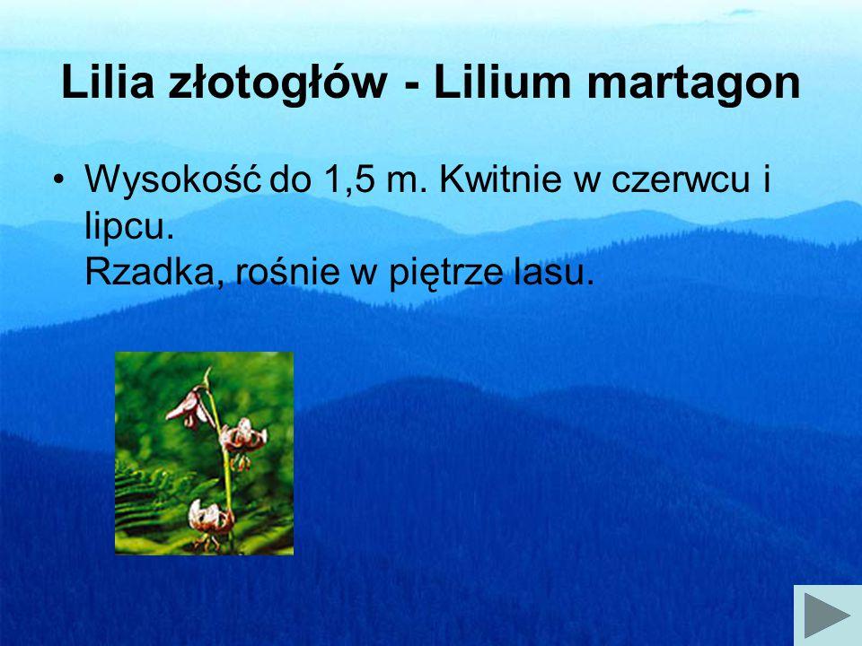 Lilia złotogłów - Lilium martagon