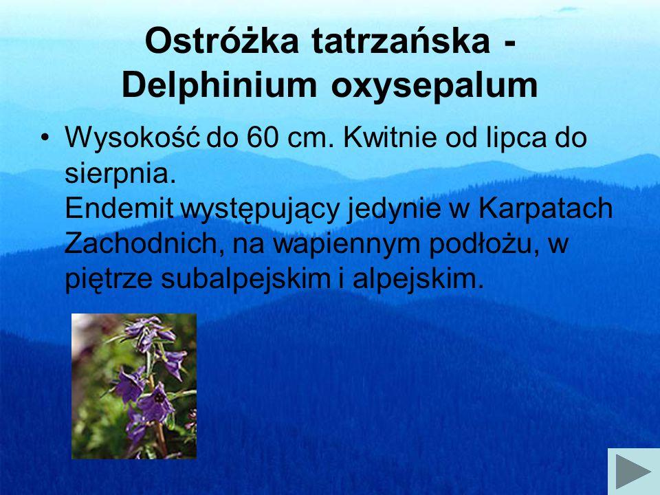 Ostróżka tatrzańska - Delphinium oxysepalum