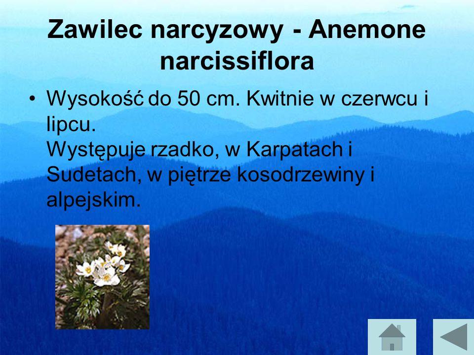 Zawilec narcyzowy - Anemone narcissiflora