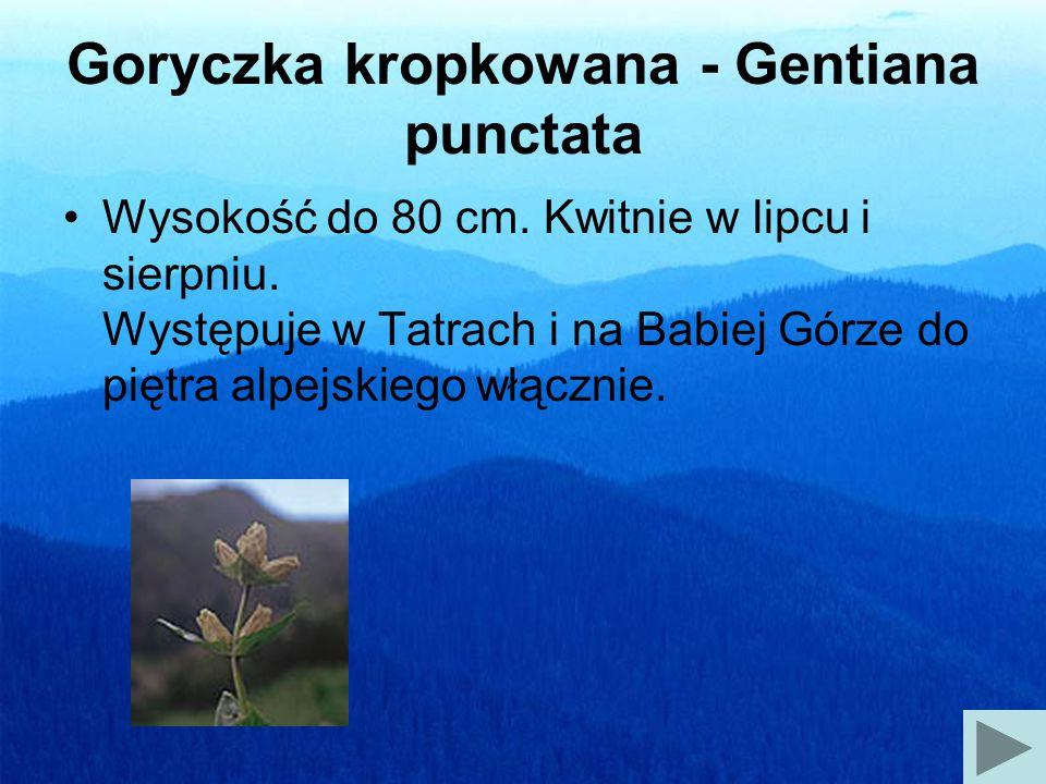 Goryczka kropkowana - Gentiana punctata