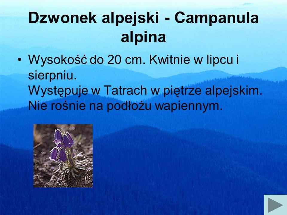 Dzwonek alpejski - Campanula alpina