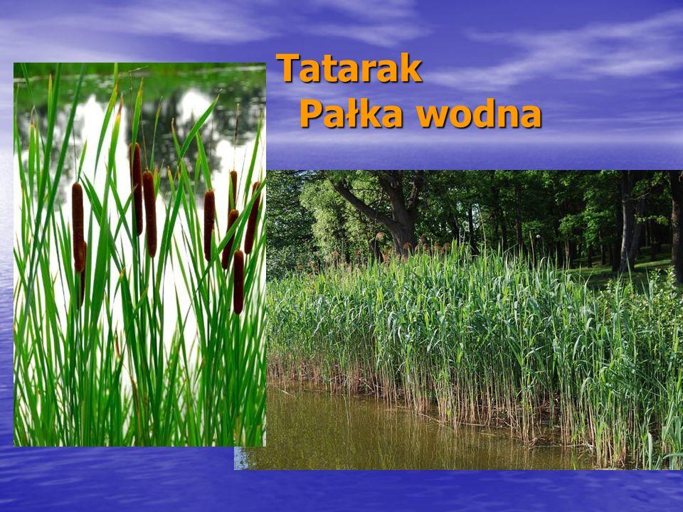 Tatarak Pałka wodna
