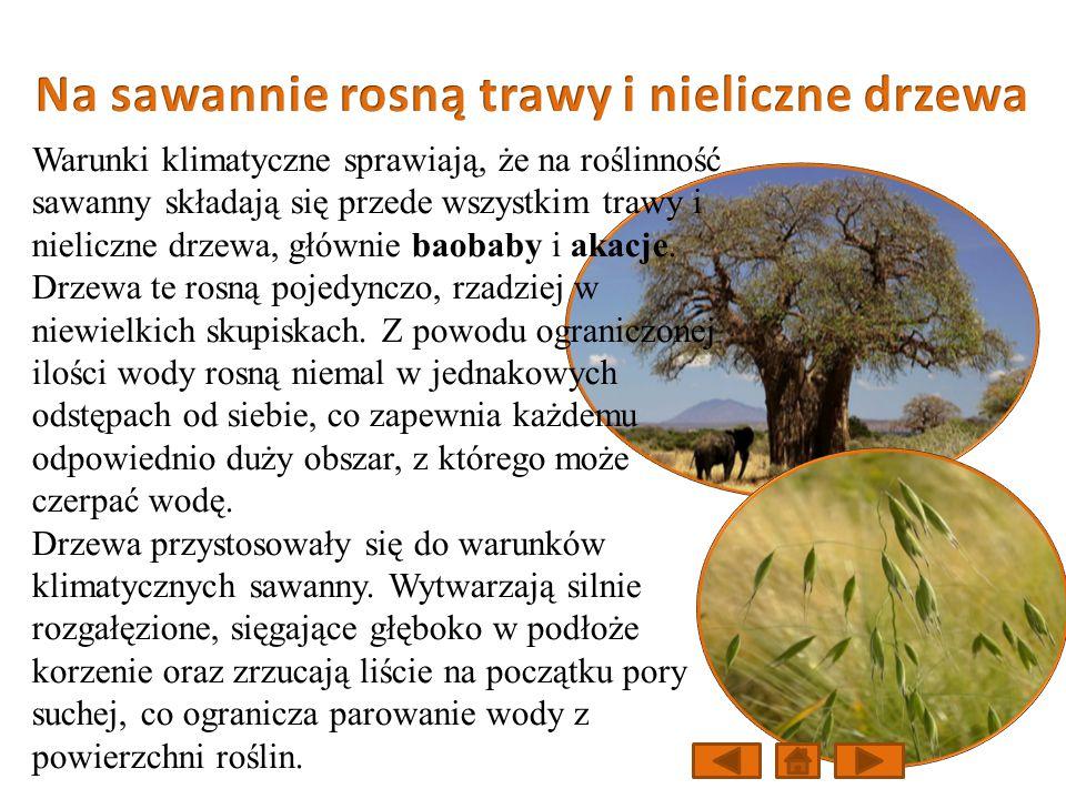 Na sawannie rosną trawy i nieliczne drzewa