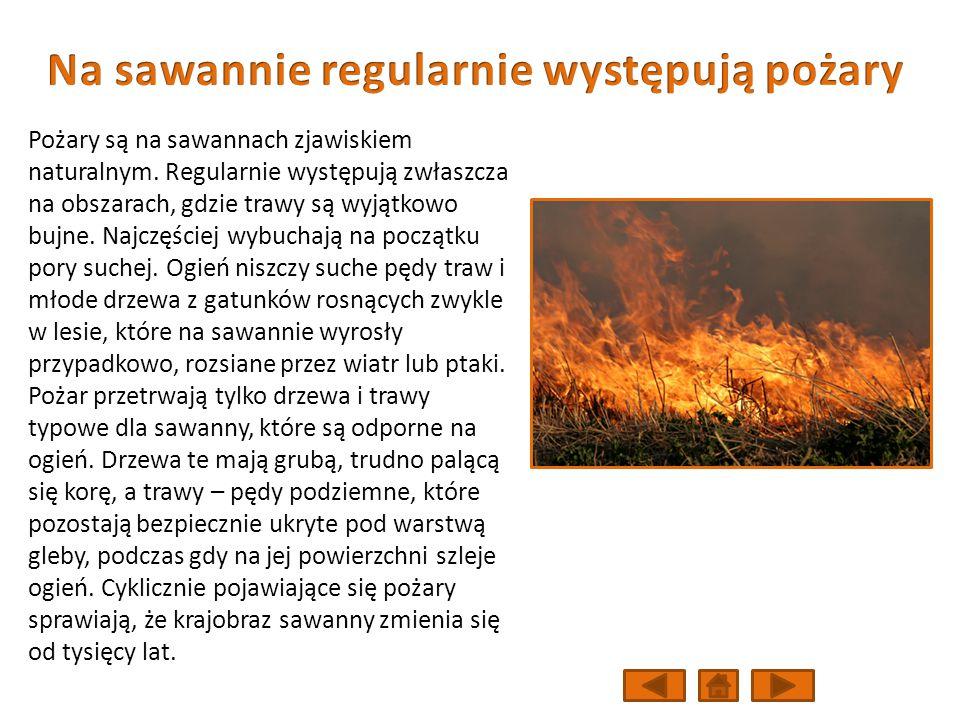 Na sawannie regularnie występują pożary