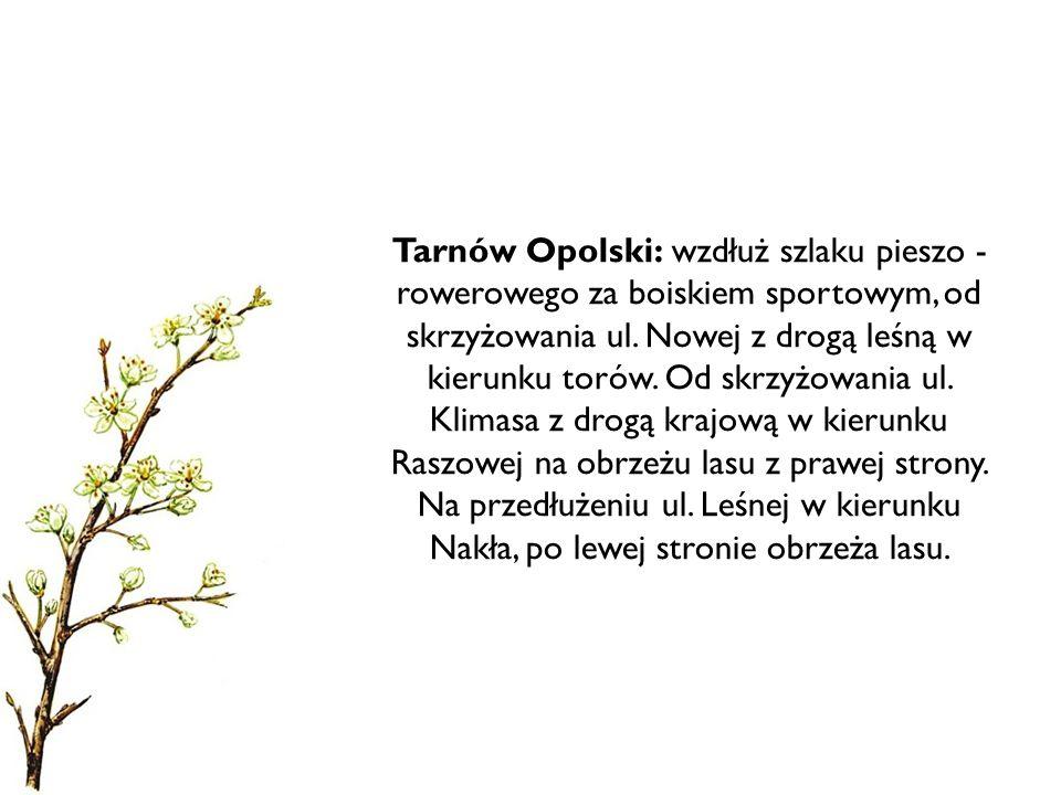 Tarnów Opolski: wzdłuż szlaku pieszo -rowerowego za boiskiem sportowym, od skrzyżowania ul.