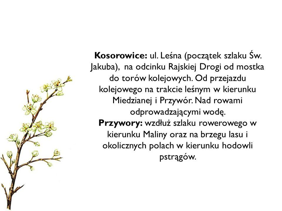 Kosorowice: ul. Leśna (początek szlaku Św