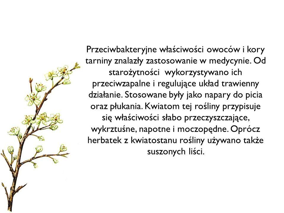Przeciwbakteryjne właściwości owoców i kory tarniny znalazły zastosowanie w medycynie.