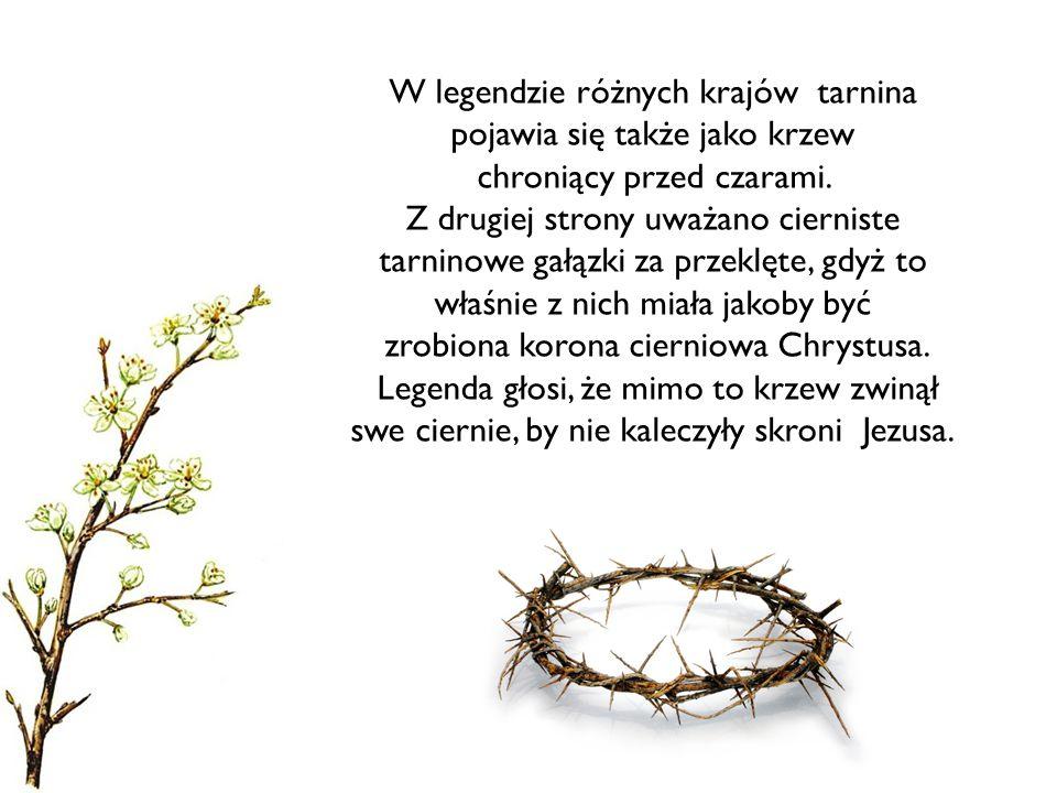 W legendzie różnych krajów tarnina pojawia się także jako krzew