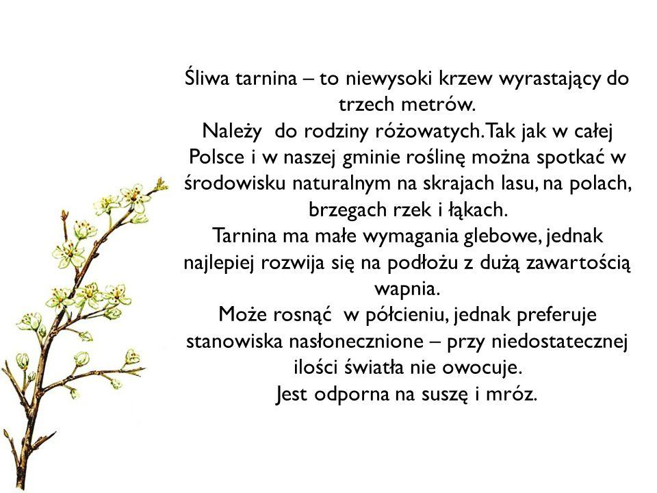 Śliwa tarnina – to niewysoki krzew wyrastający do trzech metrów.