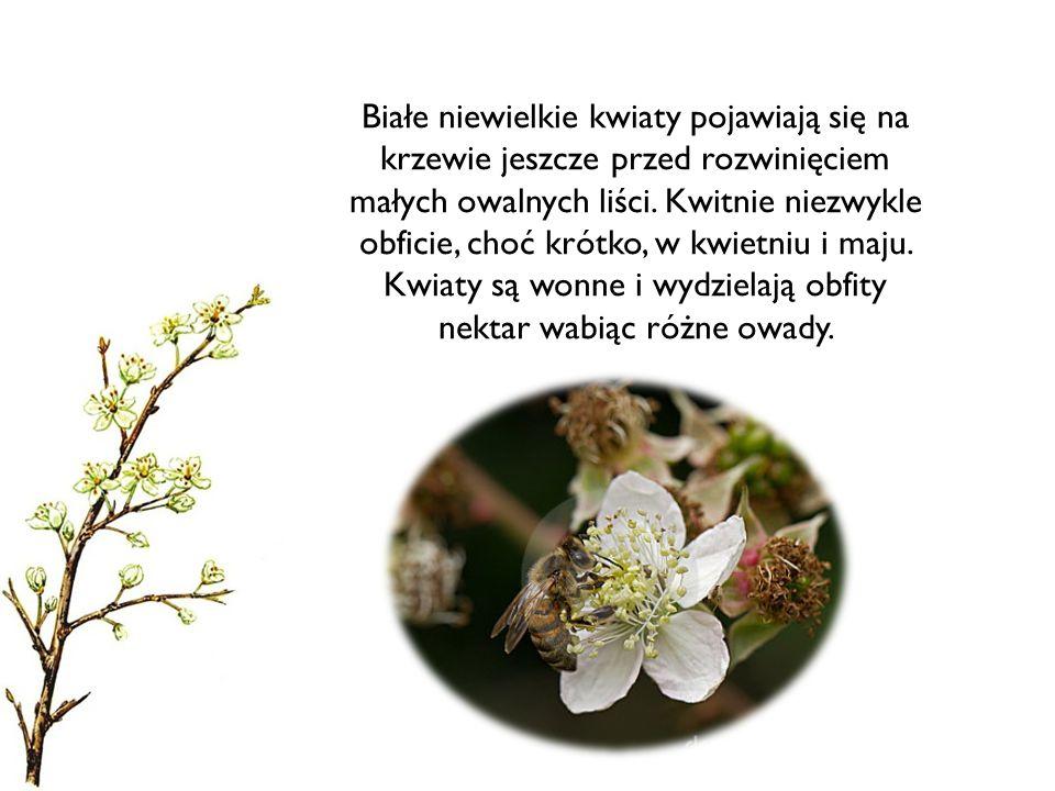 Białe niewielkie kwiaty pojawiają się na krzewie jeszcze przed rozwinięciem małych owalnych liści.