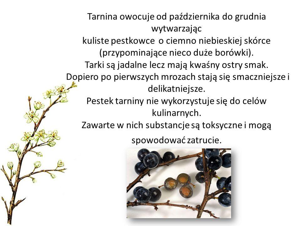 Tarnina owocuje od października do grudnia wytwarzając