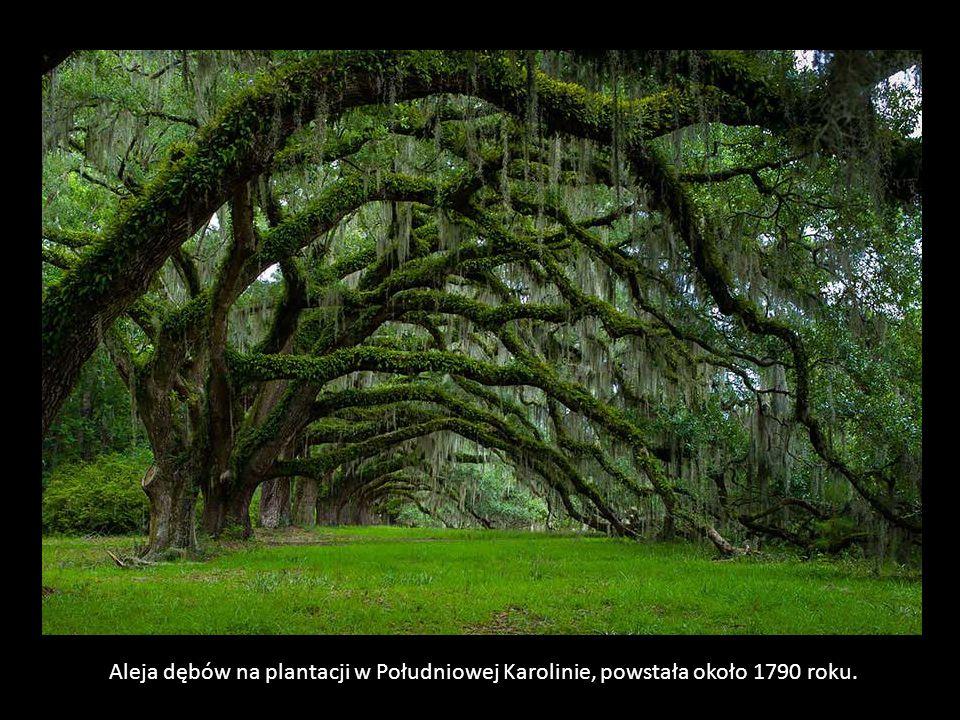 Aleja dębów na plantacji w Południowej Karolinie, powstała około 1790 roku.