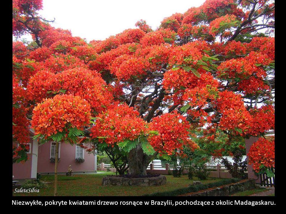 Niezwykłe, pokryte kwiatami drzewo rosnące w Brazylii, pochodzące z okolic Madagaskaru.