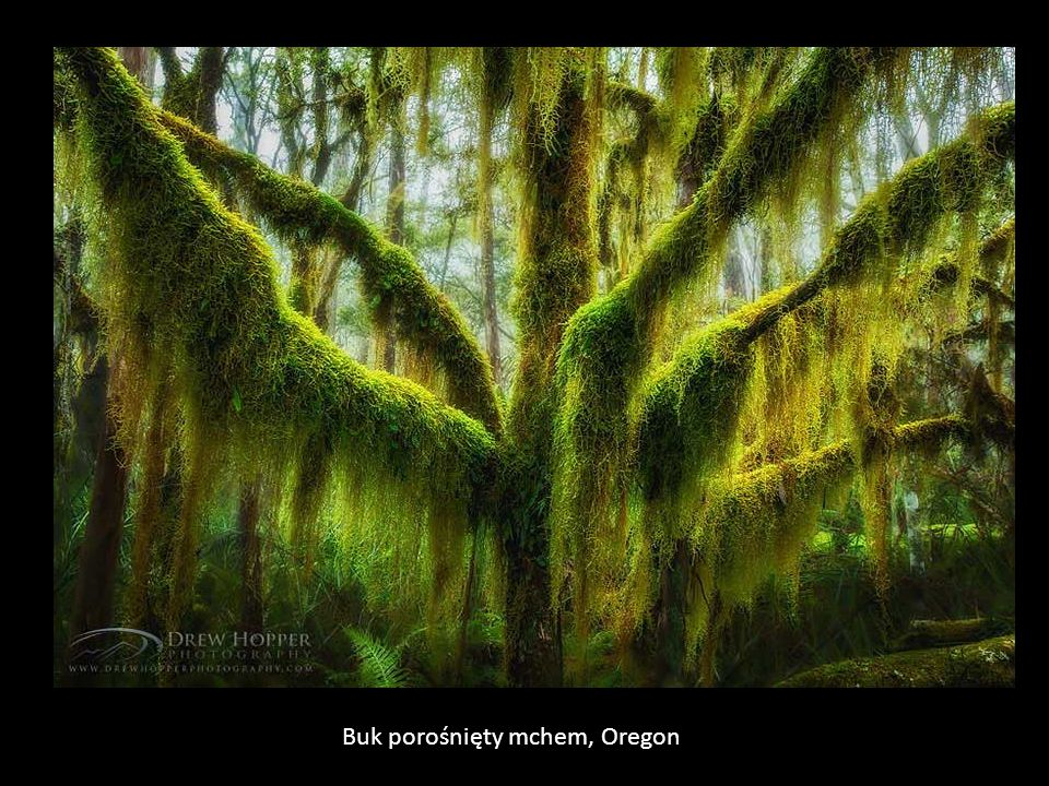 Buk porośnięty mchem, Oregon
