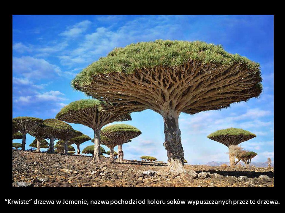 Krwiste drzewa w Jemenie, nazwa pochodzi od koloru soków wypuszczanych przez te drzewa.