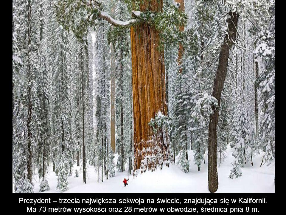 Ma 73 metrów wysokości oraz 28 metrów w obwodzie, średnica pnia 8 m.