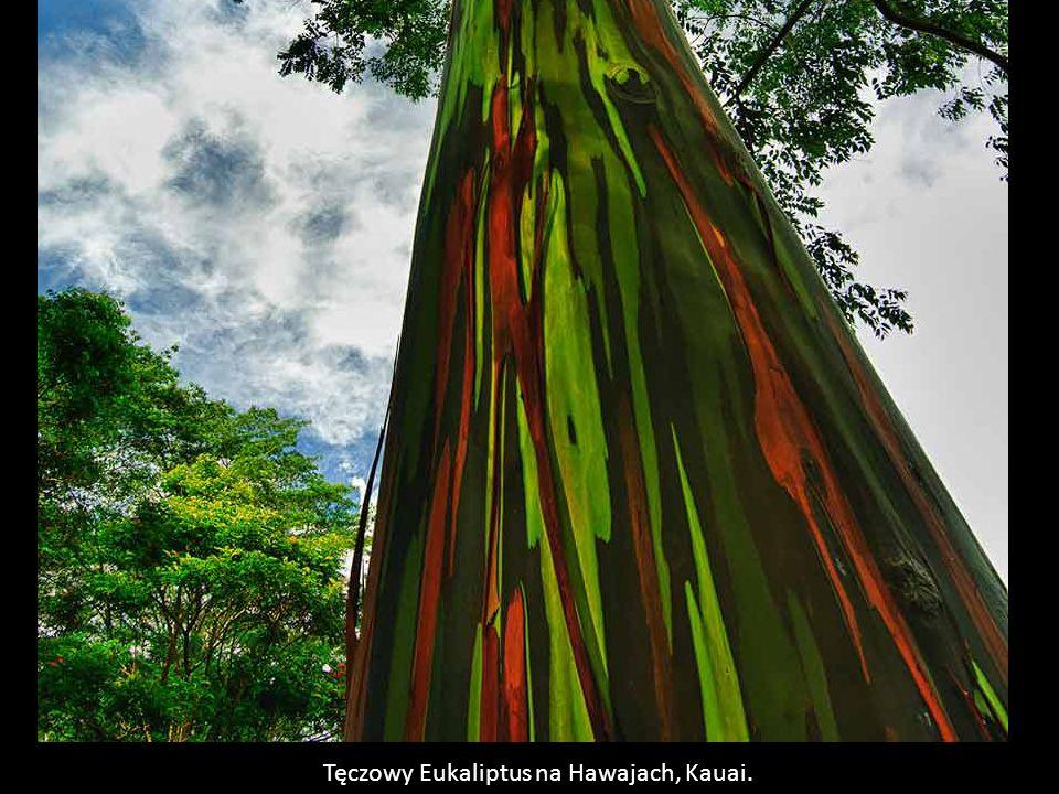 Tęczowy Eukaliptus na Hawajach, Kauai.