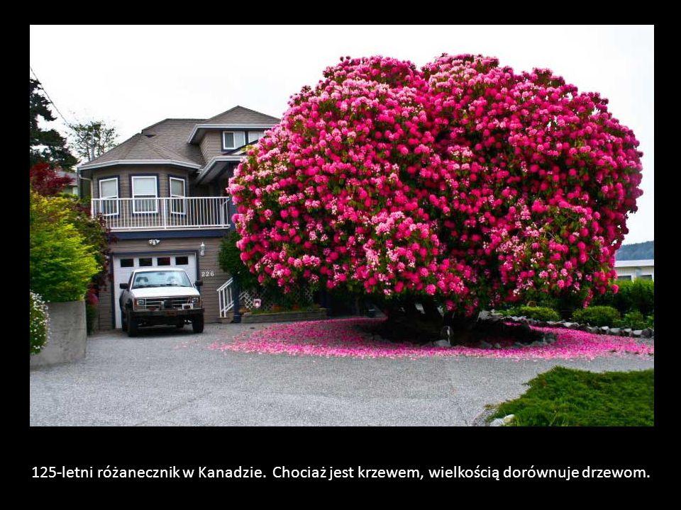 125-letni różanecznik w Kanadzie