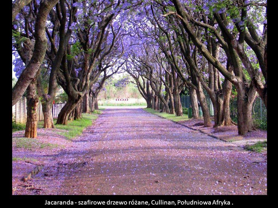 Jacaranda - szafirowe drzewo różane, Cullinan, Południowa Afryka .