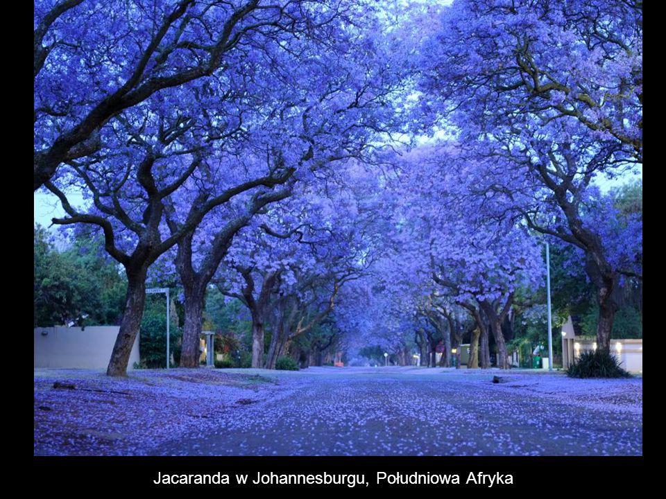 Jacaranda w Johannesburgu, Południowa Afryka