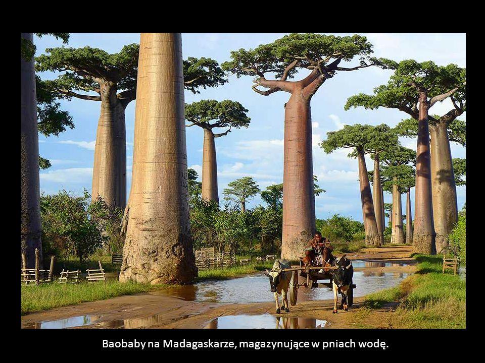 Baobaby na Madagaskarze, magazynujące w pniach wodę.
