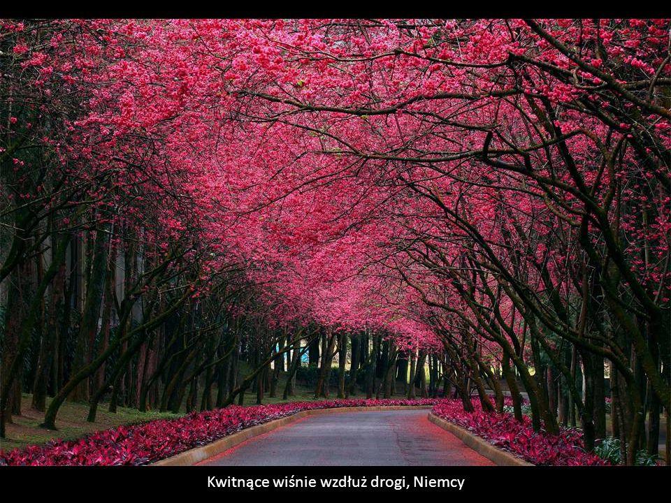 Kwitnące wiśnie wzdłuż drogi, Niemcy